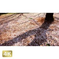 1032029 ■ 桜 代々木