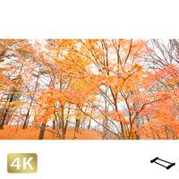 1016014 ■ 山中湖 紅葉