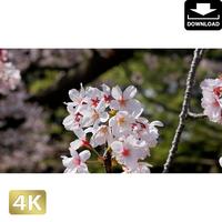 2020023 ■ 花見 桜