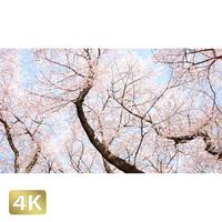 1020020 ■ 桜