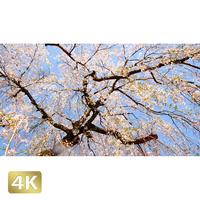 1032007 ■ 桜 増上寺