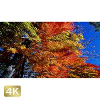 1015011 ■ 富士山 山中湖 紅葉