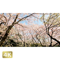 1020011 ■ 桜
