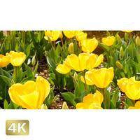 1020008 ■ 花畑 チューリップ