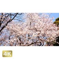1032012 ■ 桜 増上寺