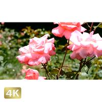 1024014 ■ 花畑 薔薇