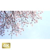 1032016 ■ 桜 増上寺