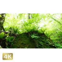 1035065 ■ 奥入瀬渓流 樹木