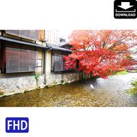 4043100 ■ 京都 紅葉 アオサギ