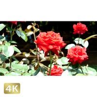 1024003 ■ 花畑 赤い薔薇