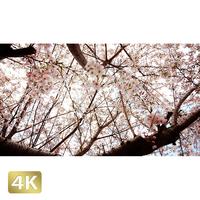 1032024 ■ 桜 千駄ヶ谷