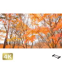 1016009 ■ 山中湖 紅葉