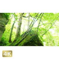 1035104 ■ 奥入瀬渓流 岩と木
