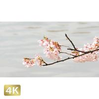1020026 ■ 桜