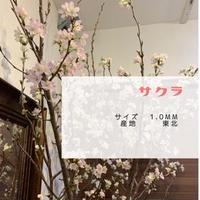 「啓翁桜(けいおうざくら)」 100cm 5本セット[送料込み]