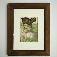 アンティーク 銅版画 古い本の挿絵 「羊と山羊」