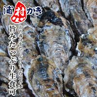 浦村牡蠣 生食用 4〜4.5kg 40〜50個入 三重県 モトかき養殖場 殻付き生カキ