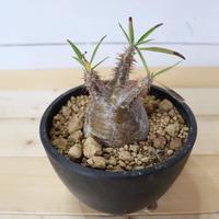 Pachypodium Gracilius (パキポディウム ・グラキリス)005