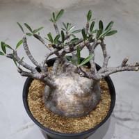 Pachypodium Gracilius (パキポディウム ・グラキリス)002