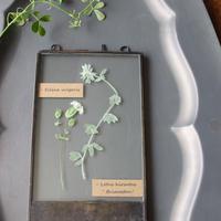 ≪fp-46≫[透ける植物標本/グリーンベル・ブリムストーン]21x12.5