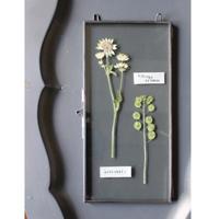 ≪fp-36≫[透ける植物標本/アストランチア・タラスピオファリム]25x12