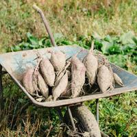 土にこだわって育てたシルクスイート(生芋)「2kg」