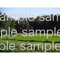 スェーデンの田舎の牧草地にいる牛  デジタル写真データ digital photo data