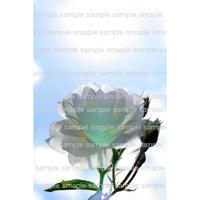 白い薔薇 white rose  デジタル写真データ digital photo data