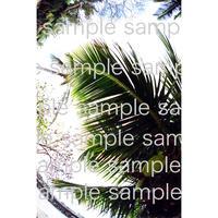 ハワイのヤシの木 palm tree in Hawaii  デジタル写真データ digital photo data