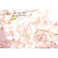桜  cherry blossom  デジタル写真データ  digital photo data