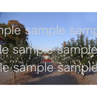 スェーデンWanasKonst のオノヨーコさんのwish tree 04  wish tree in Sweden    デジタル写真データ digital photo data