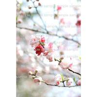桜 cherry  blossoms   デジタル写真データ digital photo data