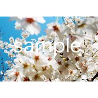 デジタル写真データ  白い桜
