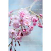 ピンクの桜 cherry blossom   デジタル写真データ digital photo data