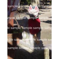 赤い前掛けをつけた神社の狐 Shrine fox  デジタル写真データ digital photo data