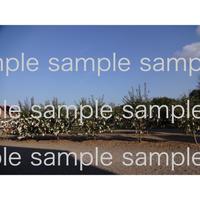 スェーデンWanasKonst のオノヨーコさんのwish tree  03 wish tree in Sweden  デジタル写真データ digital photo data