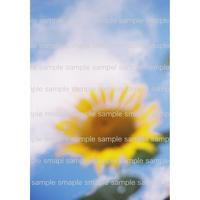 Sunflower03   ひまわり2015     デジタル写真データ digital photo data