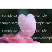 ピンクのハートの花びら 04  pink heart shape petal  デジタル写真データ digital photo data