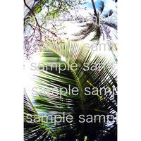 ハワイのヤシの木の葉  palm tree in Hawaii  デジタル写真データ digital photo data