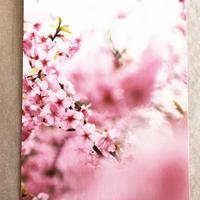 ポストカード 桜 6枚