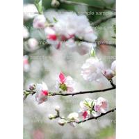 桜 Sakura  cherry blossom  デジタル写真データ digital photo data