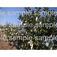 スェーデンWanas  Konst のオノヨーコさんのwish tree 01  Yoko ono wish tree in Sweden  デジタル写真データ digital photo data