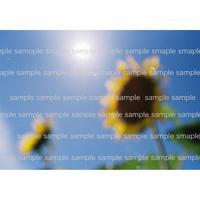 太陽とひまわり02  2015  Sun&Sunflower   デジタル写真データ digital photo data