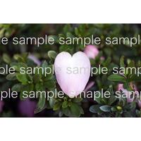ピンクハートの花びら pink heart petal  デジタル写真データ digital photo data