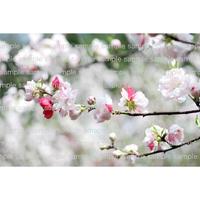 桜 cherry blossom Sakura   デジタル写真データ digital photo data