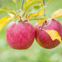 蜜入り 葉とらずサンふじりんご 贈答用 5kg 15玉前後
