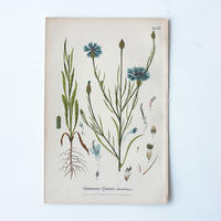 Botanical Art 植物画 ヤグルマギク