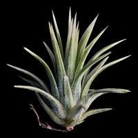 Tillandsia ionantha  'Albomarginata'/ティランジア イオナンタ アルボマージナータ