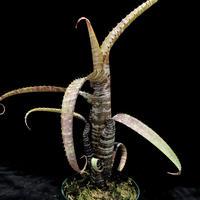 【天下家植物界】Aechmea nudicaulis `Rafa'(Near Sao Fidelis,Rio de Janeiro,Brazil)003/エクメア ヌディカウリス ラファ