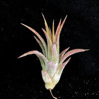 T.ionantha var.masfina/イオナンタ マスフィナ